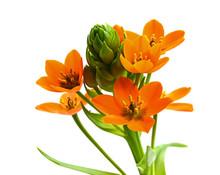 Orangefarbener Milchstern
