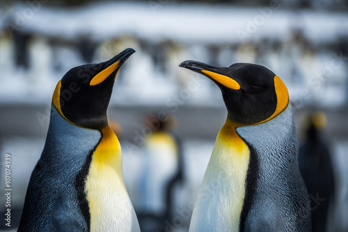 Fotobehang Pinguin Close-up of two king penguins in colony