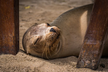 Galapagos Sea Lion Asleep Unde...