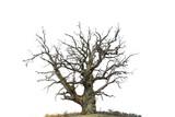 oak tree isolated on white - 107081917