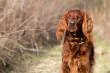 Red Irish Setter Dog, Dog For A Walk