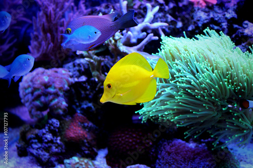Photo Stands Coral reefs Yellow Tang (Zebrasoma flavescens)