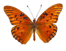 Orange Passion Butterfly