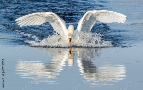 Poster Cygne Mute swan