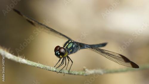 Cratilla metallica (Brauer, 1878), dragonfly