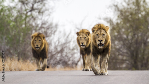 Tuinposter Leeuw Lion in Kruger National park, South Africa
