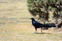 Southwest USA Beautiful Great-tailed Grackle Male Are Black With Yellow Eyes, And Black Bills And Legs. Females Are Dark Brown Above, Paler Below