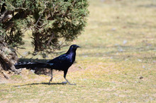 Southwest USA Beautiful Great-tailed Grackle Male Are Black With Yellow Eyes, And Black Bills And Legs. Females Are Dark Brown Above, Paler Below,