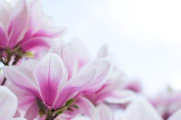 Obraz na SzkleRosa Magnolienblüten im Frühling