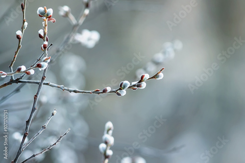 Fotografie, Obraz beautiful fluffy sprig of willow blossomed in early spring