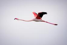 Flamingo Flying High