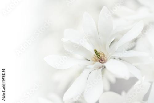 Foto op Plexiglas Magnolia White magnolia blossoms.