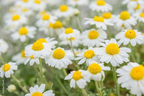 Foto op Canvas Madeliefjes chamomile field macro