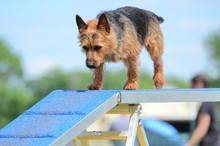 Australian Terrier At A Dog Ag...