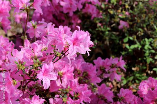 Tuinposter Azalea azaleas