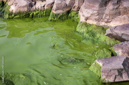 Photo  Cyanobacteria in Taihu lake