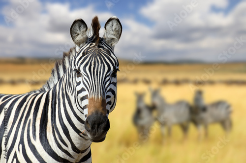 Zebra on grassland in Africa - 107205998