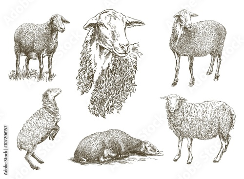 Fotografie, Obraz  sheep breeding sketch