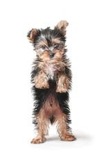 Little Puppy Standing