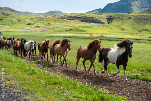 Photo  Icelandic horses galloping down a road, rural landscape, Iceland