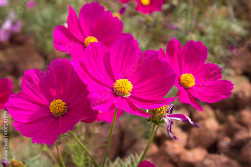 Staande foto Roze Cosmos flowers in the outdoor garden