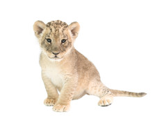 Baby Lion Isolated On White Ba...