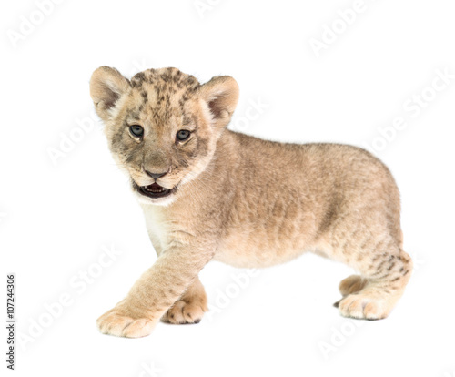 Photo baby lion isolated on white background