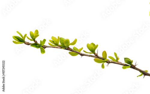 Spring green twig isolated Fototapeta