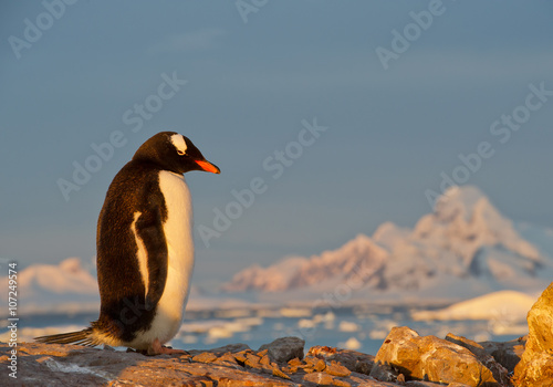 Gentoo penguin standing on the rock in last sun beams, with reddish mountain range in background, Antarctic Peninsula
