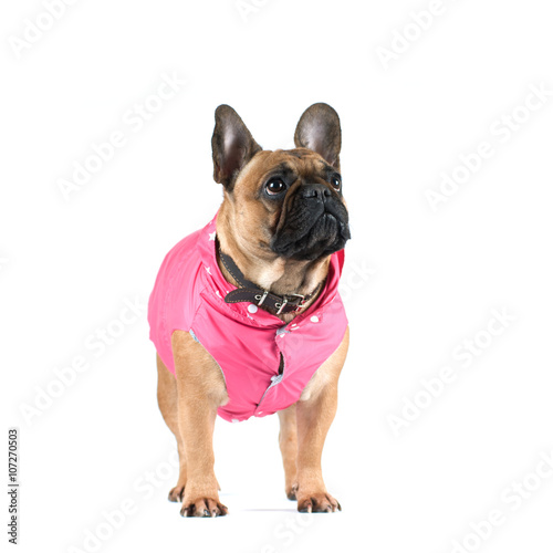Deurstickers Franse bulldog French bulldog portrait