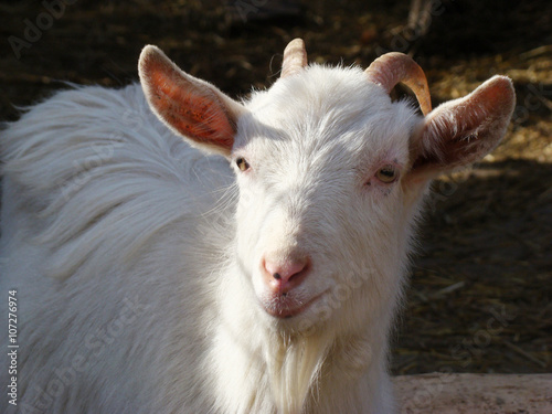 goat, goat is one of the first domesticated animals - Buy
