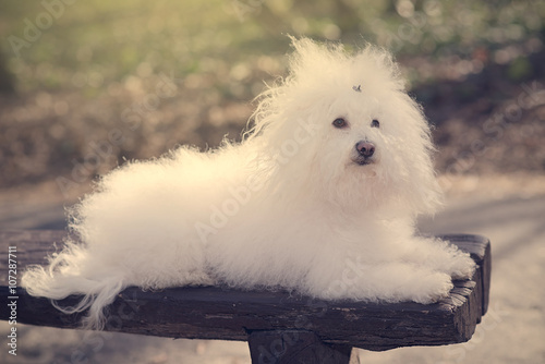 Fotografia, Obraz  Bichon havanese dog on banch in the park