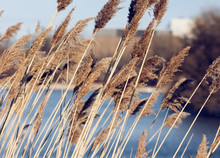 Bulrushes Growing In A Marsh
