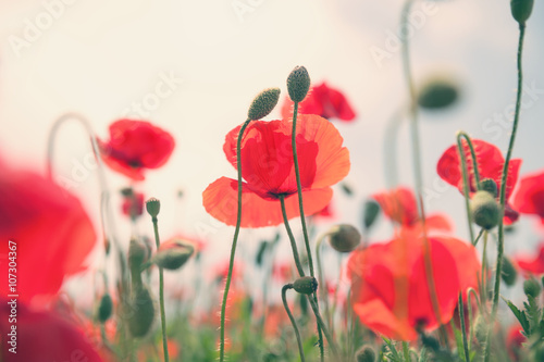 Red poppy flowers in a field buy this stock photo and explore red poppy flowers in a field mightylinksfo