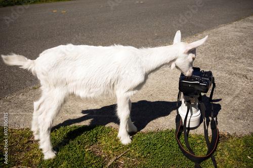 Fotografie, Obraz  Newborn Animal Albino Goat Explores Camera Long Zoom Lens