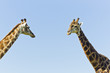 Two giraffe standing close to each other