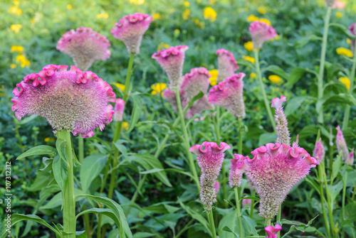 Fotografie, Obraz  Pink Cockscomb or Celosia cristata flower garden