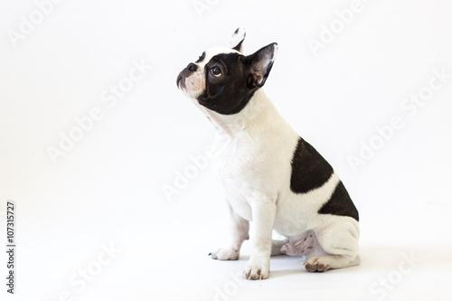 Stickers pour porte Bouledogue français French bulldog puppy portrait over white background