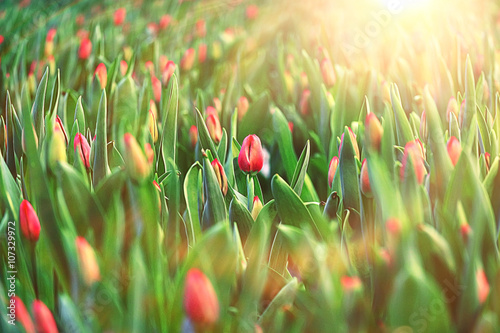 Photo  texture tulips blooming yellow field
