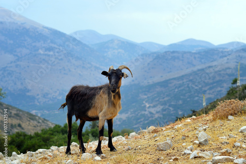 Kefalonian goat, Greece