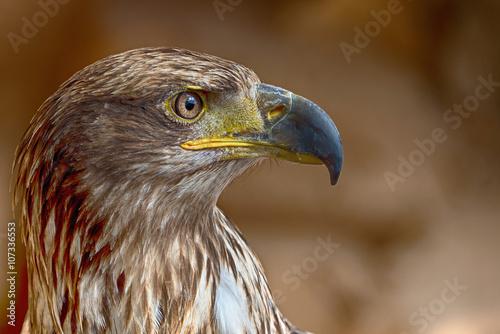 Photo  Aquila chrysaetos.Portrait of a golden eagle