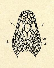 Head of common European viper (Vipera berus)