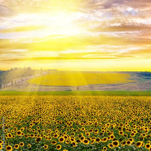 Fototapety, obrazy: Sunflower field at sunset