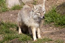 Corsac Fox, Vulpes Corsac Is S...