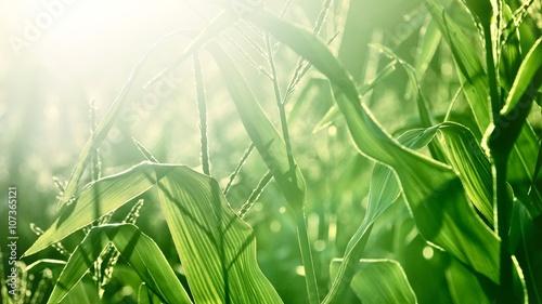 Foto op Plexiglas Groene corn field close-up at the sunset
