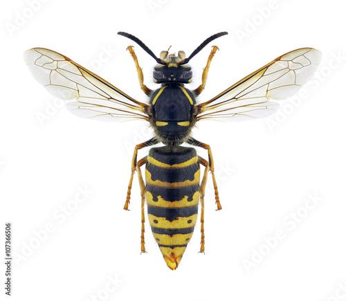 Valokuva  Wasp Vespula vulgaris (female)