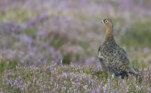 Red Grouse (Lagopus Lagopus), North Pennine Moors, County Durham