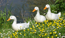 Three White Ducks In Springtime