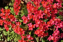 Pink Kalanchoe Flowers
