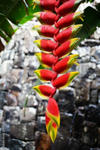 Red and yellow hanging flowers of the heliconia rostrata plant buy red and yellow hanging flowers of the heliconia rostrata plant mightylinksfo